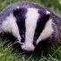 After the cull: badger and cattle vaccines are still needed to fight bovine TB