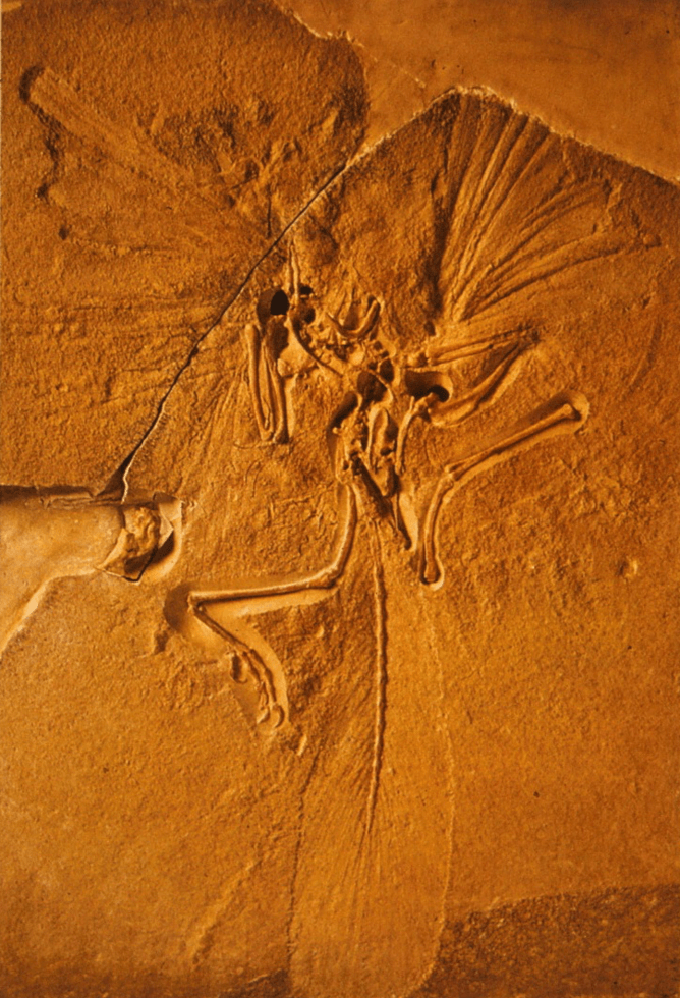 Archaeopteryx NHM Author provided